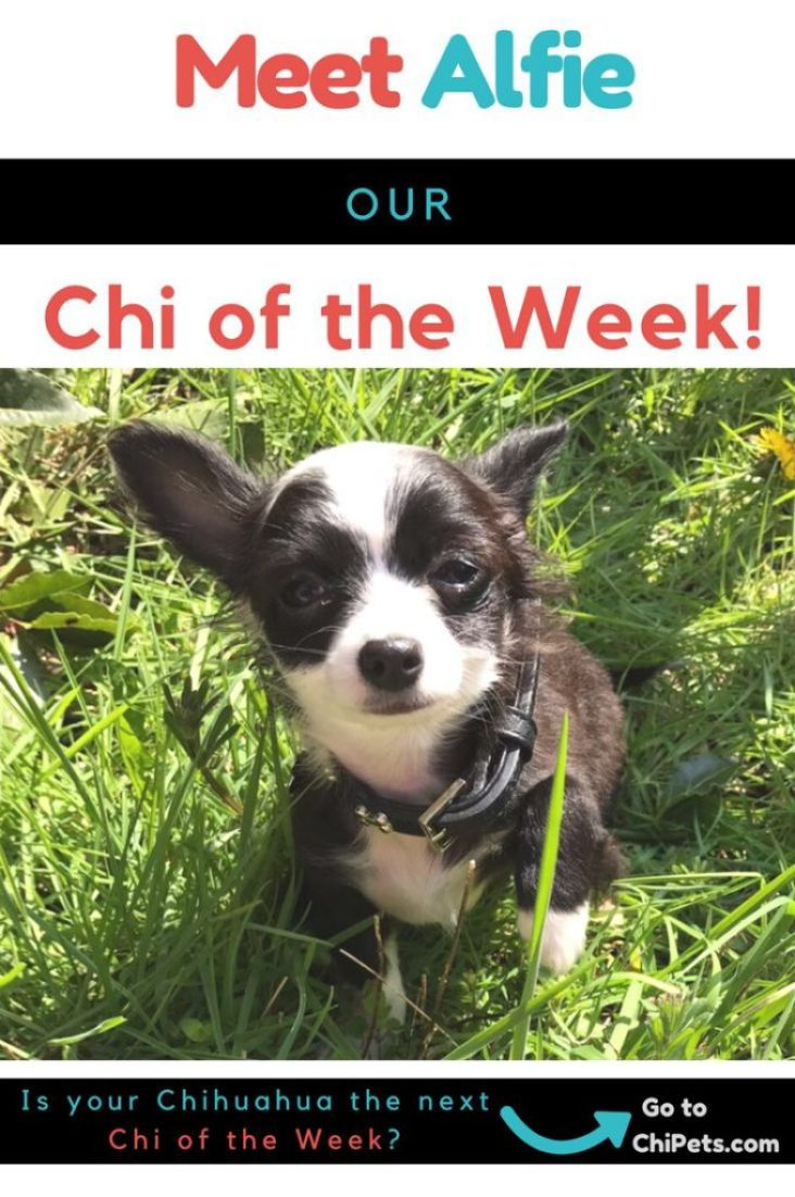 Meet Alfie - Chi of the Week on ChiPets.com