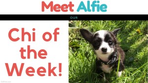 Meet Alfie…Our Chi of the Week!
