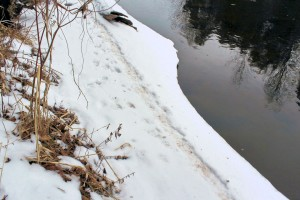 A well-used mink trail along the shore