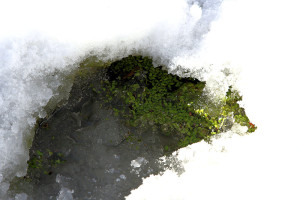 Duckweed showing through a hole in the snow and ice near the Kabana Creek foot bridge