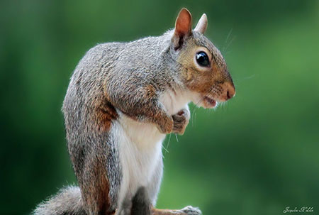 squirrel-jacqueline-hodsdon-web