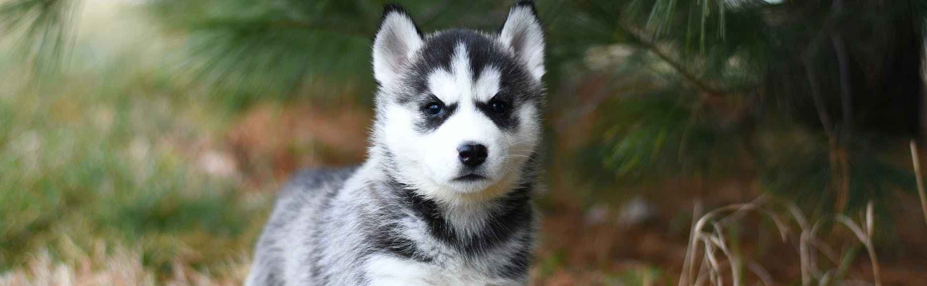 black and white siberian husky puppy on brown grass field