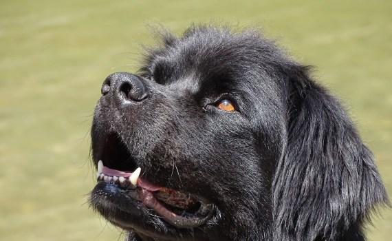 Neufundländer Hund gross Welpe Welpen