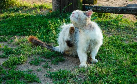 Nahrungsmittelallergien bei Katzen können Juckreiz und / oder Atemprobleme verursachen