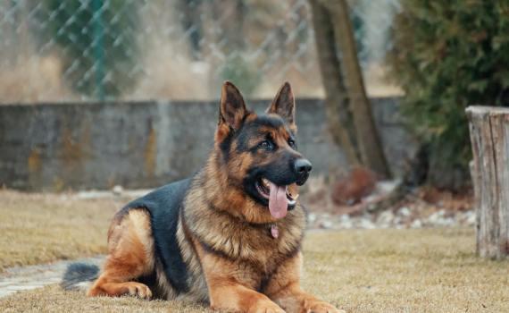 Sie kennen bestimmt die Fernsehserie Kommissar Rex. Da ist ein Schäferhund treuer Begleiter eines Kriminalbeamten. Rex nimmt sogar Verbrecher fest und klärt Kriminalfälle auf.