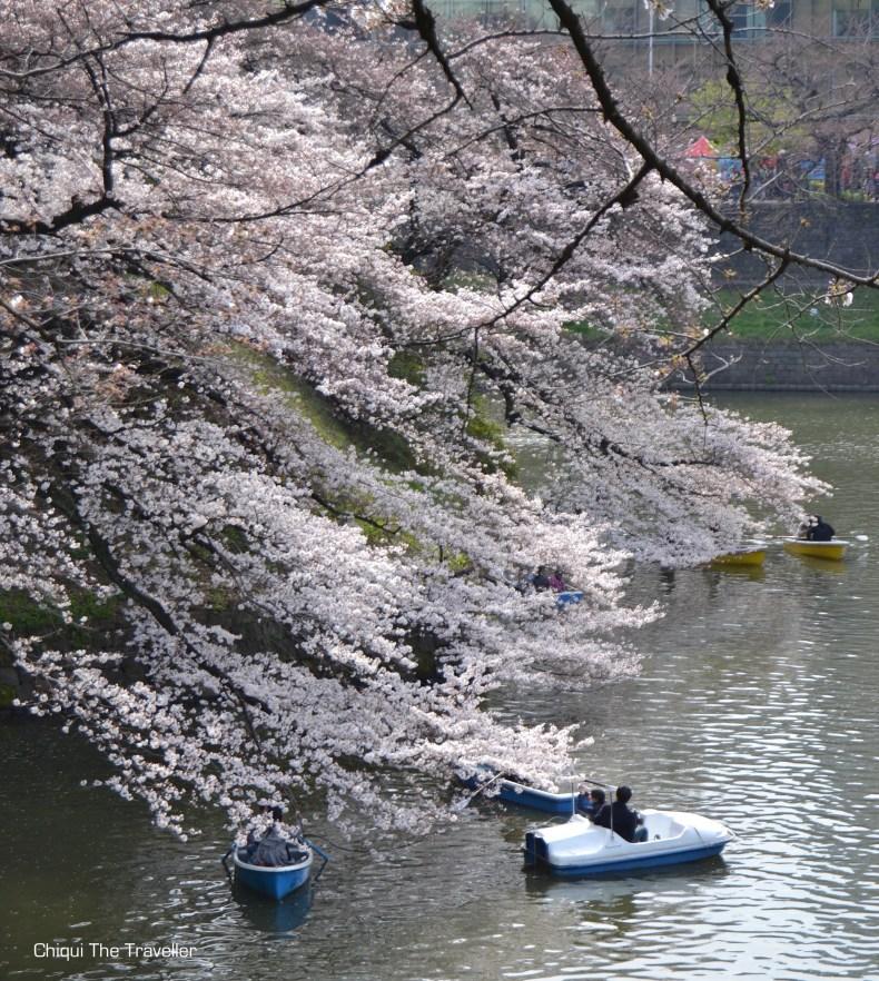 Chidorigafuchi Ryokudo sakura Tokio 3