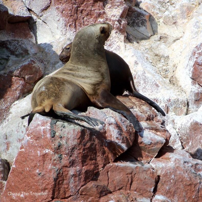 Leon Marino Islas Ballestas Peru Fauna