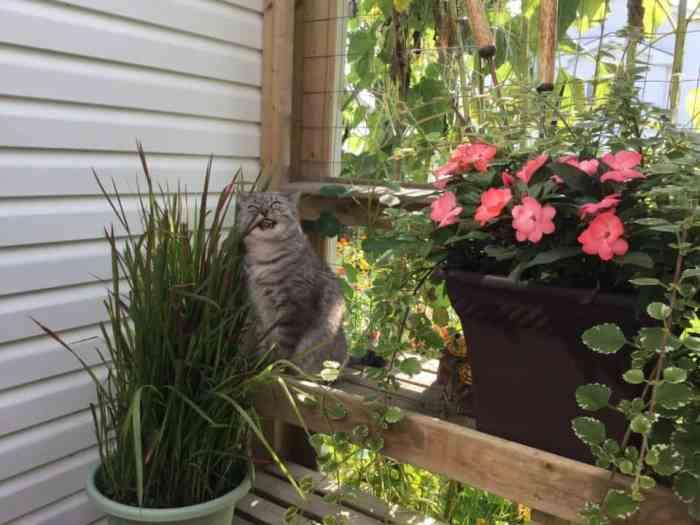 Cat eating Japanese blood grass, a cat safe ornamental grass