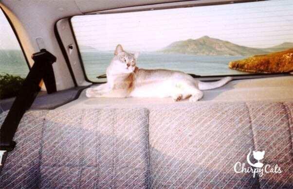 Cat resting in car