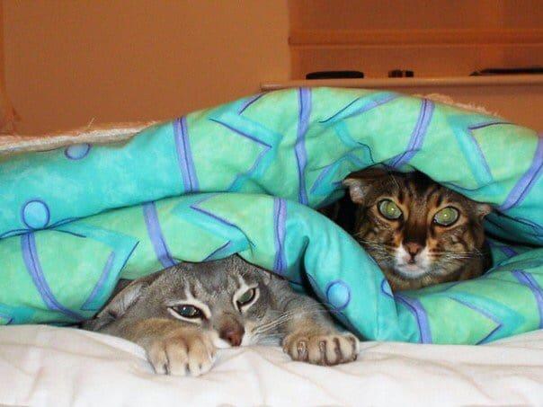 cats in duvet
