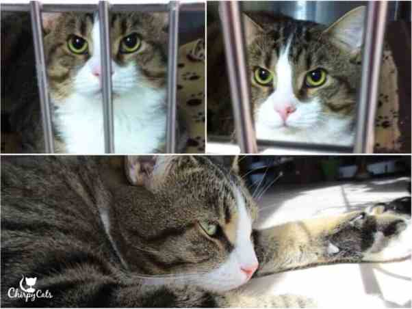 Charlie the cat stares boldly from his cage at the shelter