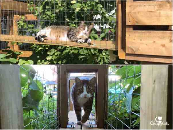 Charlie the cat walks in the catio tunnel