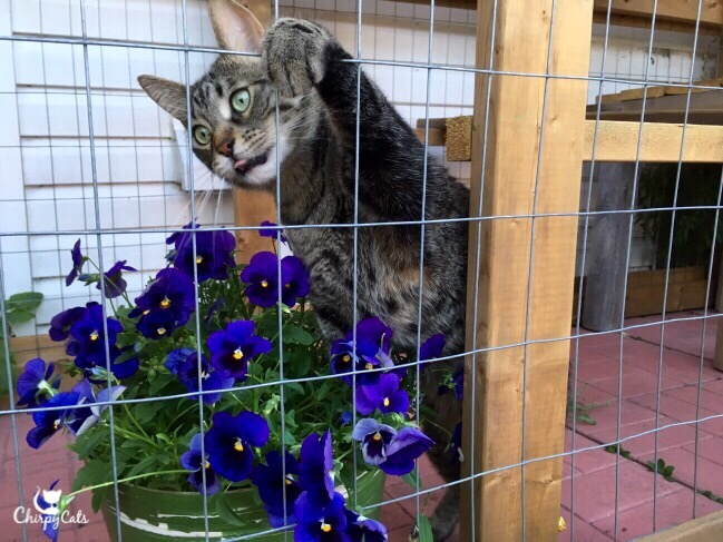 Ollie the cat wants all the pansies for himself