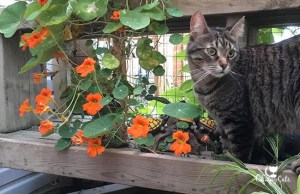 Ollie the cat sitting next to nasturtium flowers