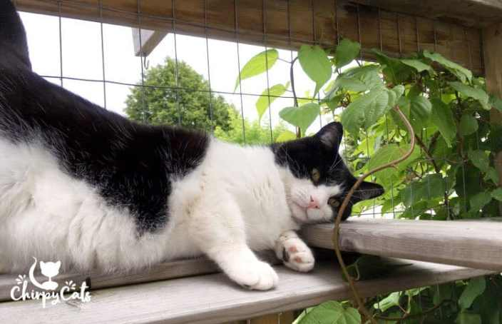 sly pie cat climbs the catio ramps