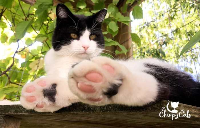 kitty jelly bean toes