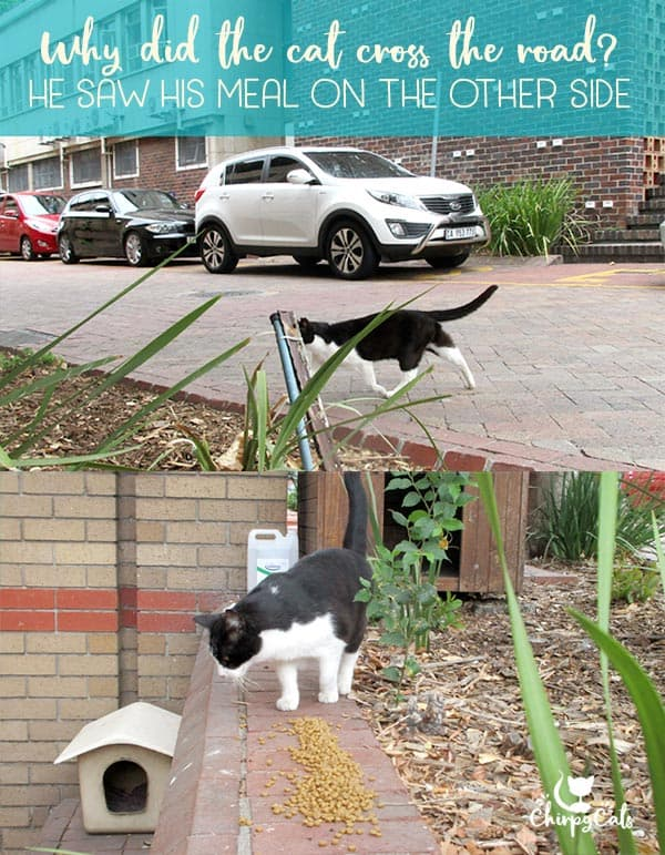 feral cat searches for food