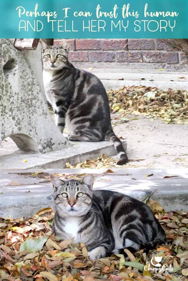 Silver tabby feral cat