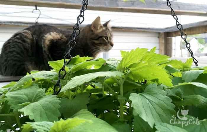 Summer catnip hanging basket