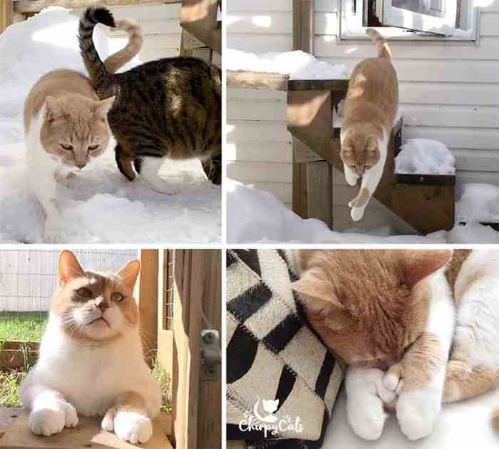 polydactyl cat opposable thumbs mittens cats