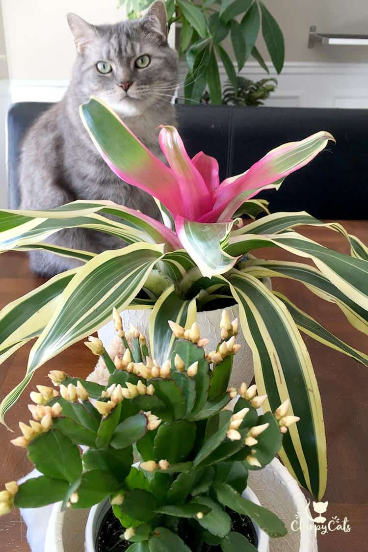 Easter lilies are deadly toxic to cats but are there cat safe cat sitting pretty next to bromeliad plant izmirmasajfo Choice Image