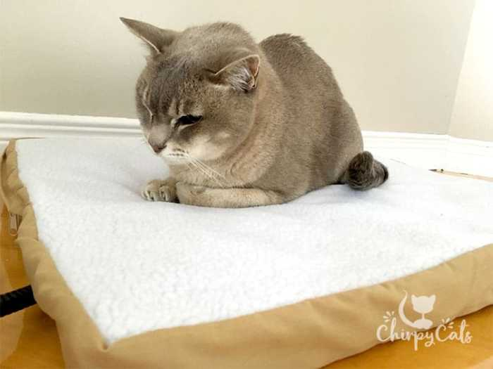 Senior cat Earl Grey enjoys some heat from Art of Paws heated cat bed