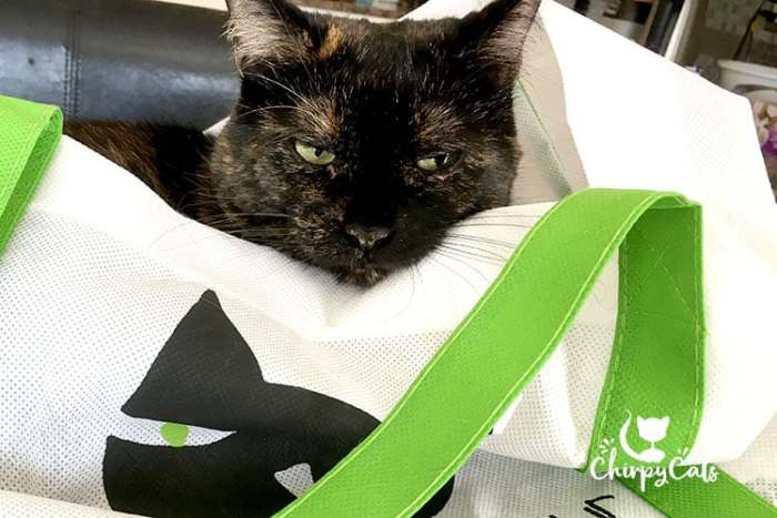 Scout the tortie sitting in tote bag
