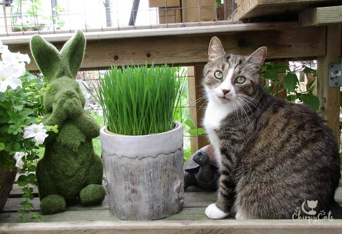 how to grow cat grass your kitty will love