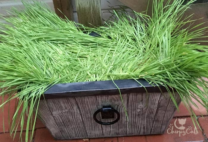 A Cat grass bed for afternoon catnaps