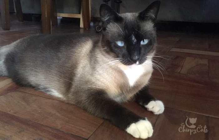 Snowshoe cat looking pretty