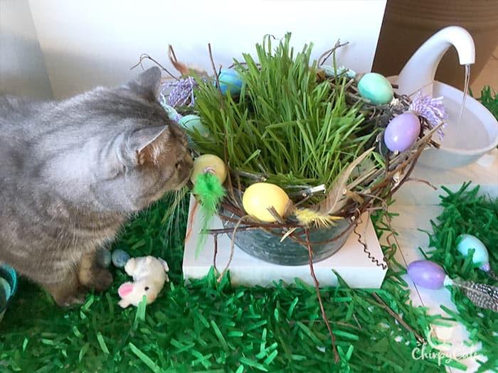 Spring Oasis cat grass bucket