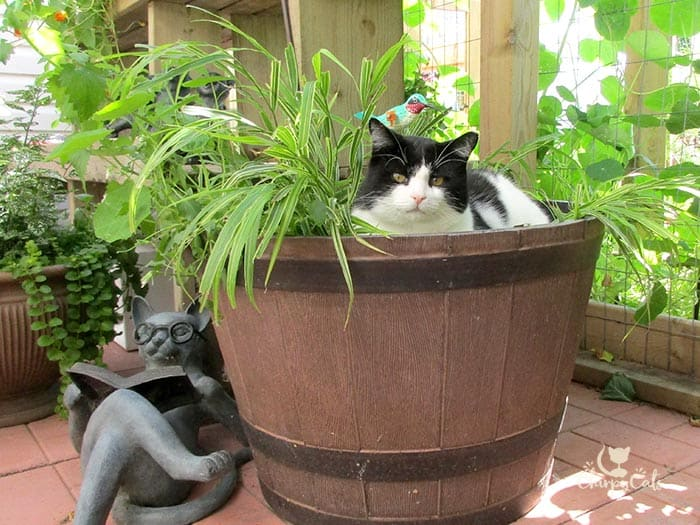 tuxedo cat sitting in a large barrel planter in a catio