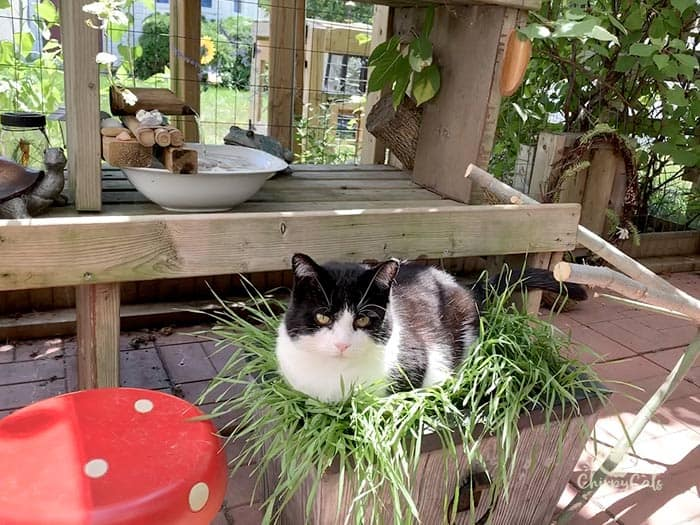 tuxedo cat sits in a bed of cat grass in a garden planter in the catio