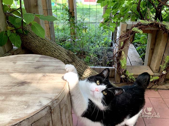 tuxedo cat stretches on a wooden garden pedestal in catio