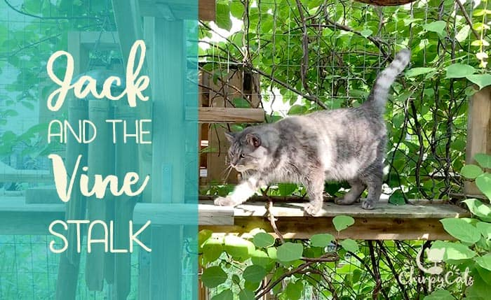 grey tabby walking on catio perches