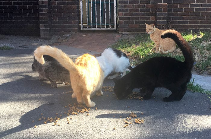 clowder of feral cats eating breakfast on campus