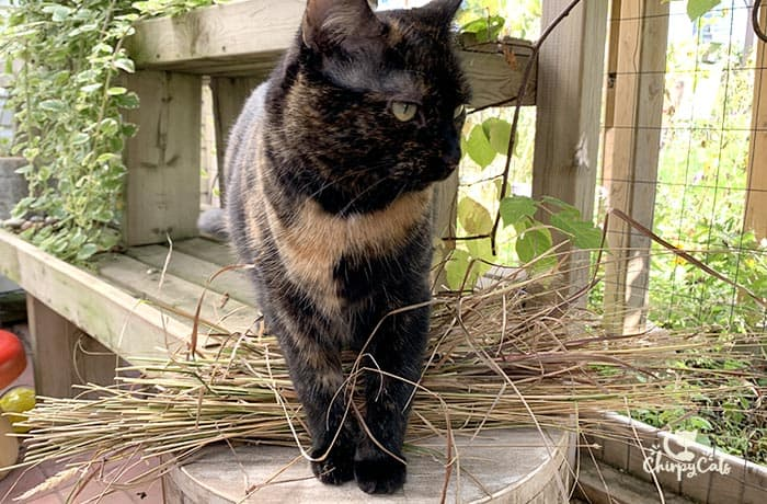 tortie cat with a bundle of grass in the catio