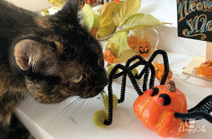 tortie cat looking at the spider toys
