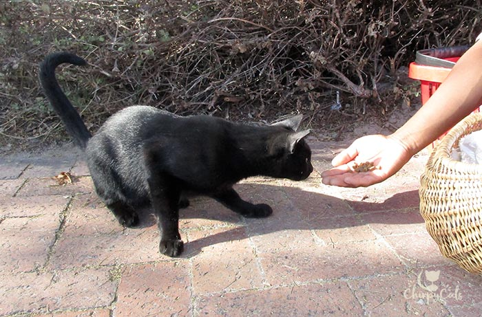 hand feeding black feral campus cat