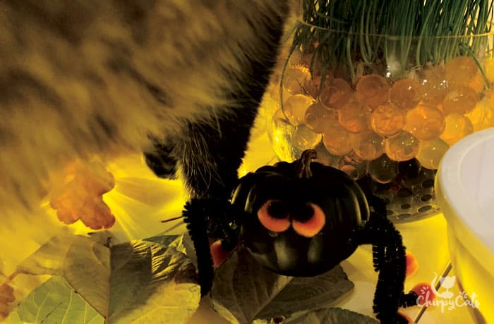 scary spider pumkin cat toy
