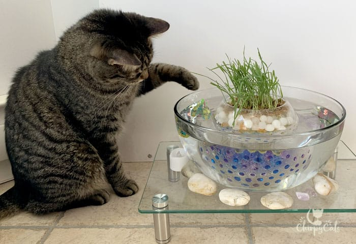 tabby cat plays with fish bowl at the indoor cat grass pond