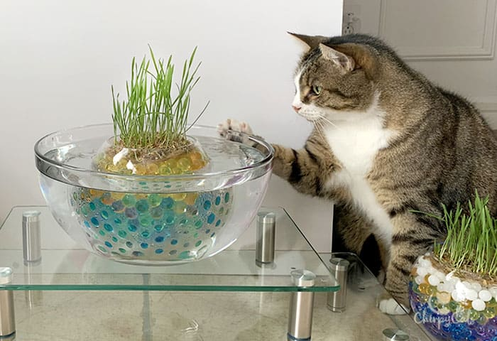 charlie cat plays with cat grass