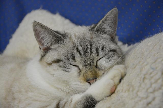 白い毛布の上でぐっすり眠っている白い猫