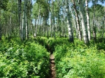 Aspen Tree Pathway