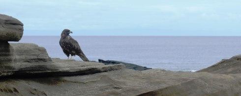 Galapagos hawk on Santiago Island