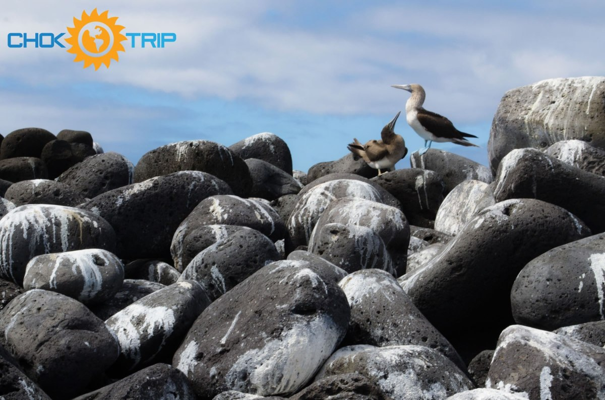 Blue footed boobies nesting on Lobos Island