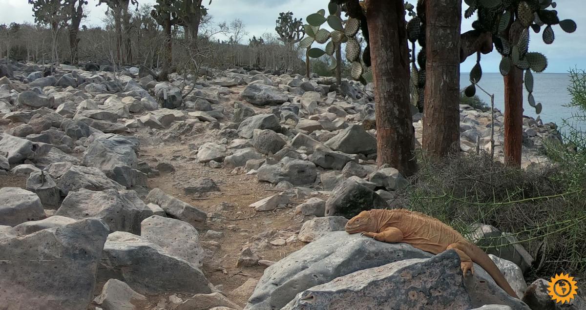 Iguana endemica de la Isla Santa Fé