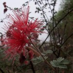 Baja Fairy Duster Calliandra californica