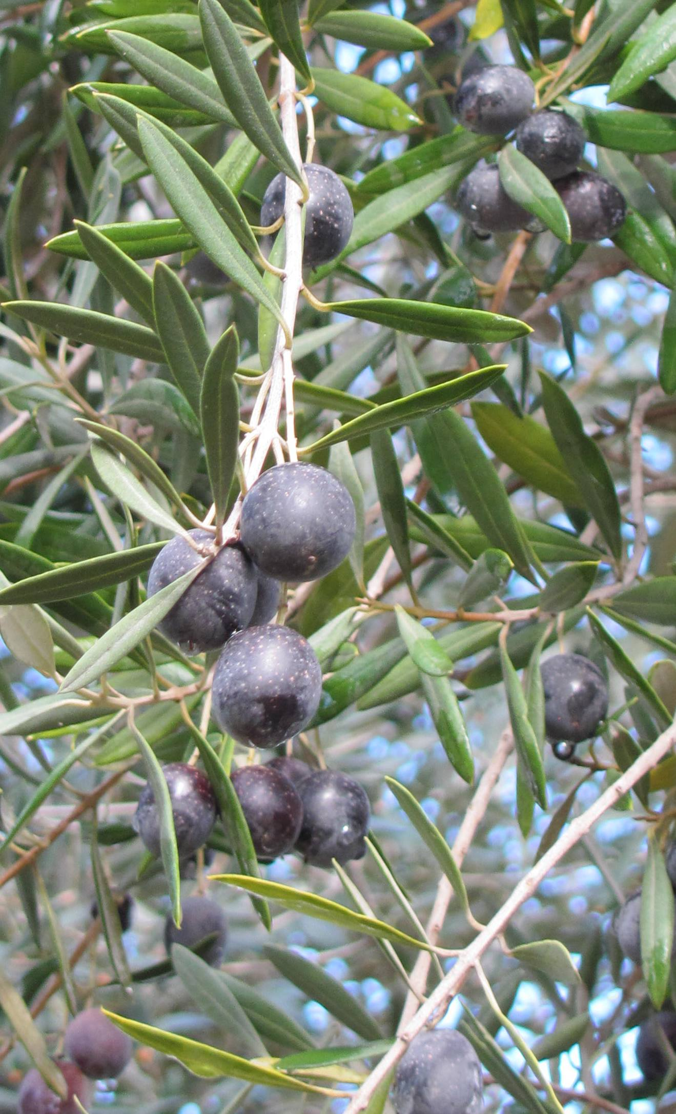 Olives in january another california winter story for What to plant under olive trees
