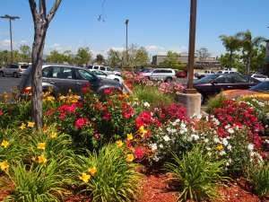 WaterwiseBotanicals roses embellish Carmel Mountain Plaza San Diego